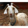 According to exit interviews, the more than 1,500 Mississippi goats eligible to vote provided near unanimous support and thereby provided the cushion Senator Cochran needed in an oh-so-close election.